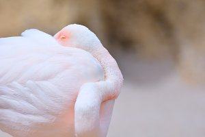 Pink flamingo sleeping