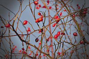 Ripe red rose hips