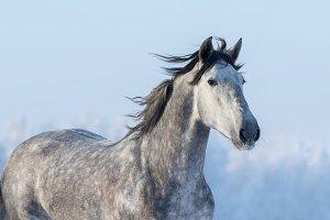 Grey Spanish horse