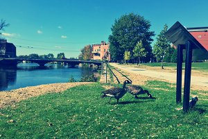 Geese In The Park