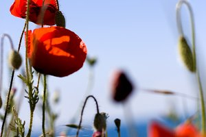 red poppies with green leaf