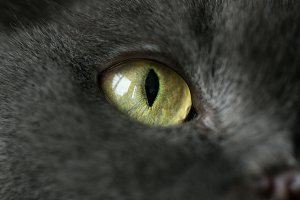 feline eye, black cat