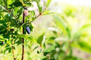 Honeysuckle berries ripen on the branch in garden. Close-up, sun
