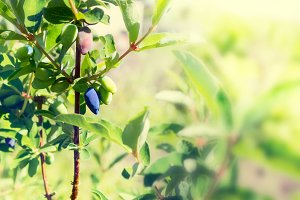 Honeysuckle berries ripen on a branch in garden. Tinted.