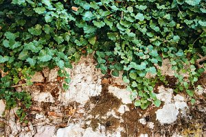 Nature Background with Ivy Leaves