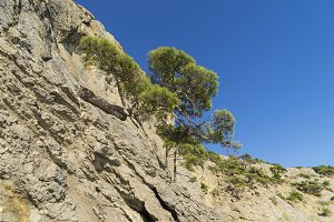 Relict pines on the rock. Crimea