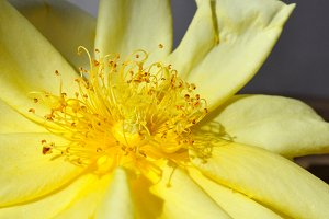 petals and yellow stamens of rose