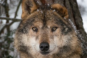 Wolf closeup portrait under the snow