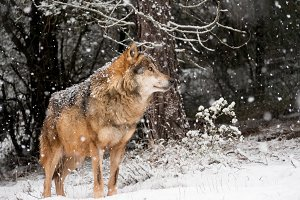Wolf male in the snow