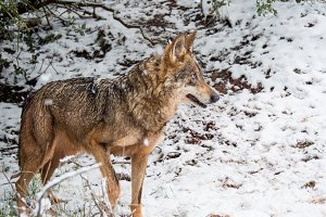 Female Wolf in the snow in winter