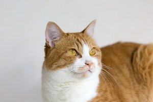 Red tabby and white cat