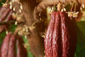 Red cocoa pod
