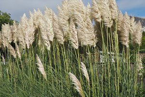White Pampas grass flower