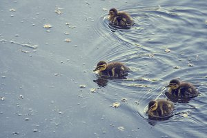 Four ducklings in pond
