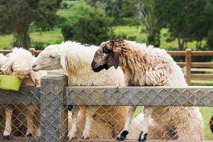 Sheeps in farm