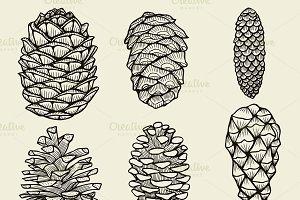 Pine cones of cedar spruce