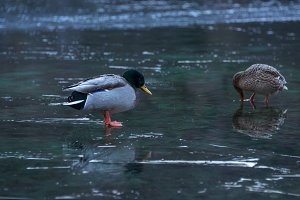 Ducks at lake Jasna in winter