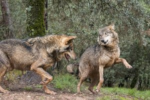 Couple of iberian wolves flirting