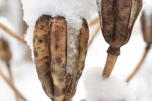 Snow-covered seed pods