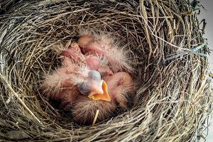 01 Baby Robin Birds just hatched