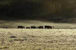Cattle in Frosty Field