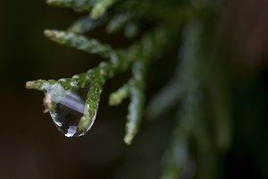 Rain on Pine