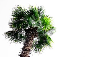 evergreen palm tree
