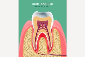 Teeth Vector Anatomy