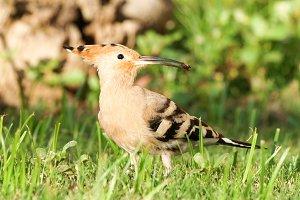 Bird eurasian hoopoe (Upupa epops)
