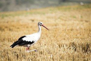 Birds-White Stork (Ciconia ciconia)