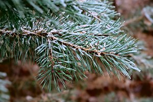 Macro pine twigs coated with frost