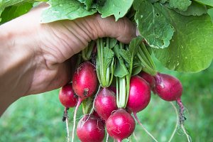 Bunch of radishes in hand