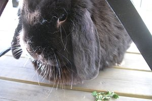 Fluffy round lop bunny