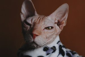 Sarcastic sphinx cat portrait