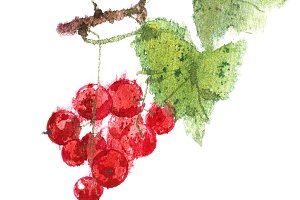 Redcurrant berries watercolor image