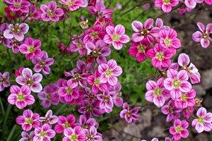 small pink Saxifraga flowers
