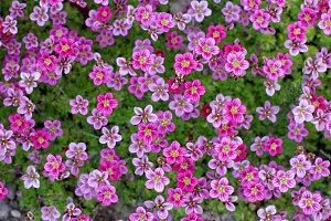 pink Saxifraga flowers pattern
