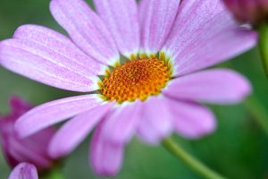 daisy stamens