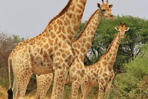 Giraffe Symmetry - African Wildlife