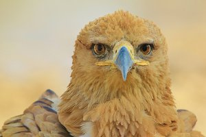 Tawny Eagle - Focus of an Icon