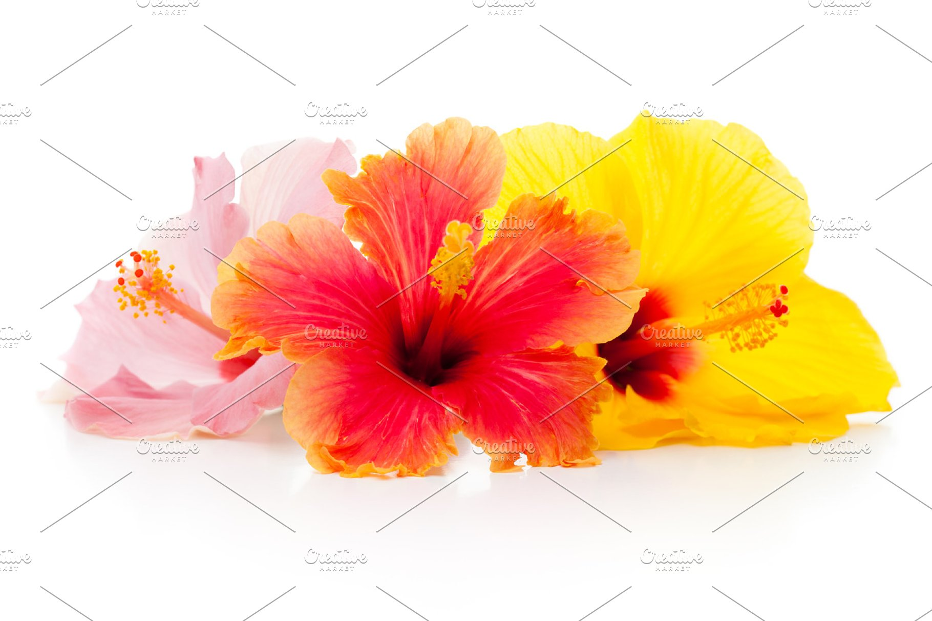 Hibiscus Flowers Isolated Photos Creative Market