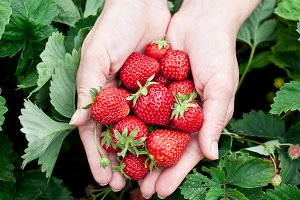 Strawberry fruits in a woman's hands