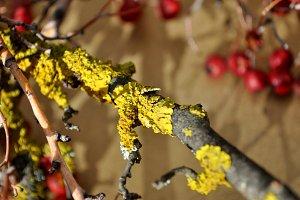 branches with lichen