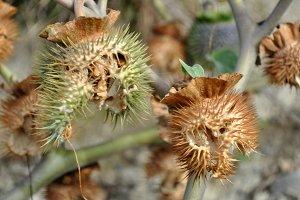 stramonium seeds capsules