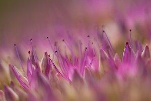 Sedum (pink makro)