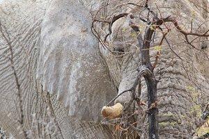 Elephant Bull - Hide and Seek
