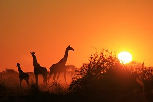 Giraffe - Magnificent Sunsets