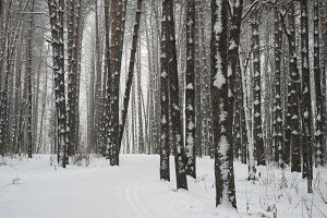 Trees in winter forest covered with snow