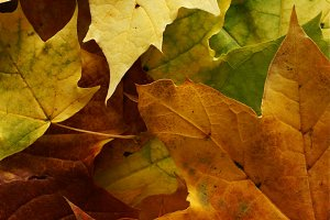 Autumn or Fall Leaves