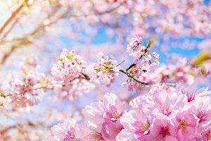 Sakura, Pink Cherry Blossom